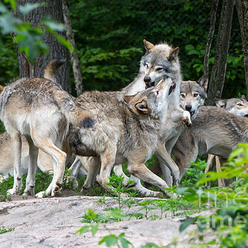 Eastern Timber Wolf Collection
