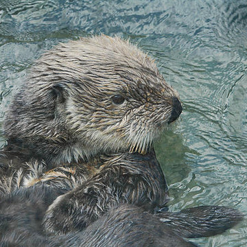Otters Collection