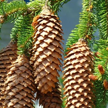 Pine Cones Trees Art Prints Collection