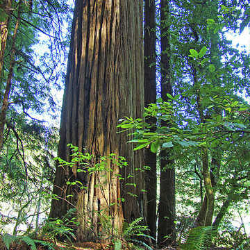 Redwood Trees Forest Collection