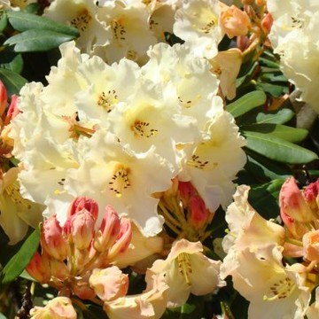 RHODIES Art Prints Canvas Rhododendrons Collection