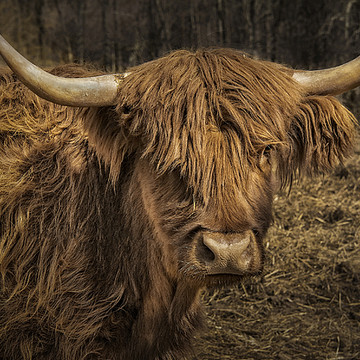 Scottish Highland Cattle Collection