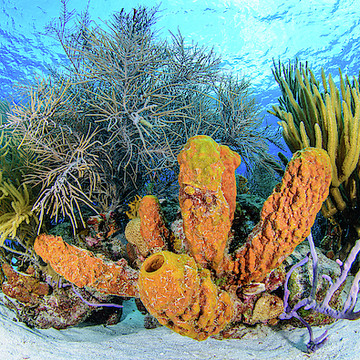 Underwater Photography TUBE SPONGE  Los Roques Venezuela - By Orgbluewater Collection
