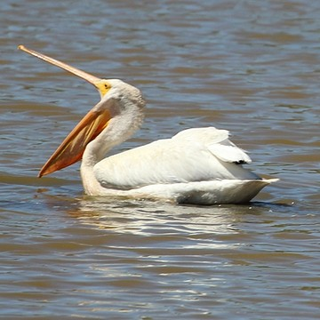 White Pelican Collection