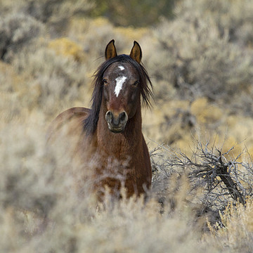 Wild Mustang Horses Collection