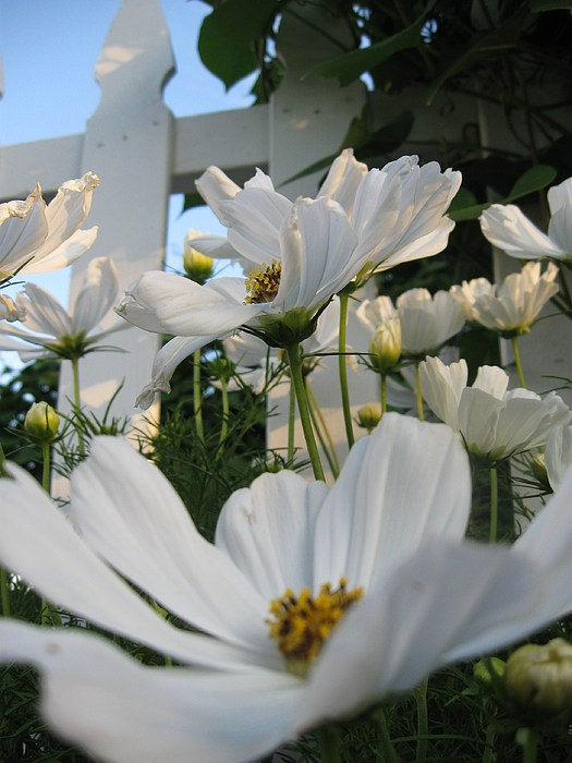 Flower Photograph -  Daisies by Nancy Ippolito