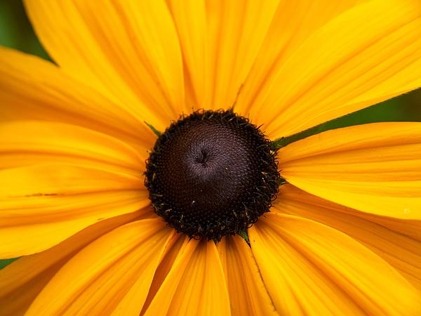 Lehtokukka Photograph -  Goldilocks Gloriosa Daisy 2 by Jouko Lehto