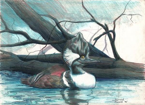 Merganser Duck Drawing by Raymond Doward