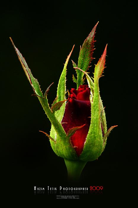 Red Rose Photograph by Nazim Tetik