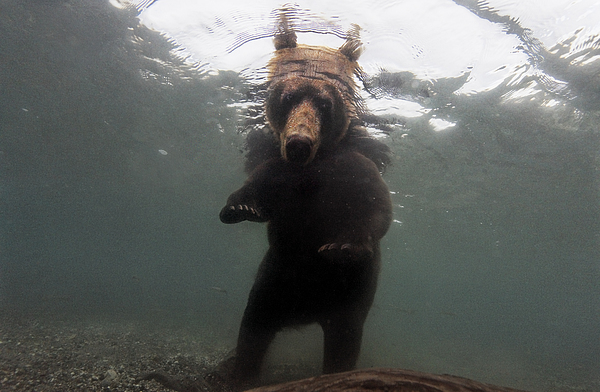 Outdoors Photograph - A Brown Bear Fishing For Salmon by Randy Olson