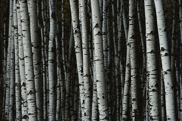 White Birch Trees  - A Forest Of White Birch Trees Betula by Medford Taylor