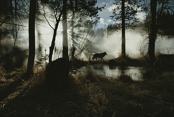 Subject Photograph - A Gray Wolf, Canis Lupus, In Silhouette by Jim And Jamie Dutcher