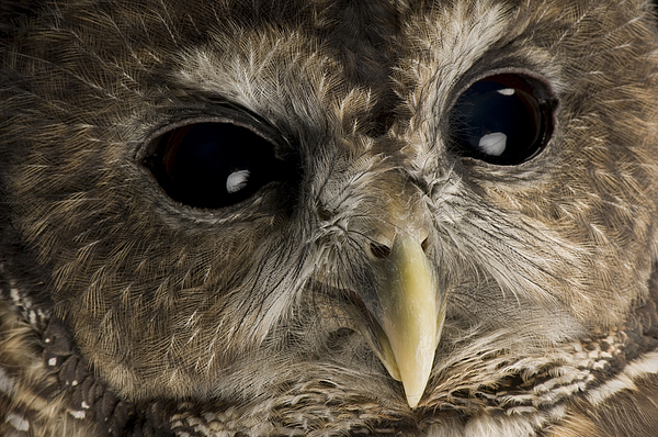 Outdoors Photograph - A Threatened Northern Spotted Owl by Joel Sartore