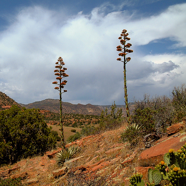 Agaves Photograph - Agaves At Robbers Roost by Michael Smith-Sardior