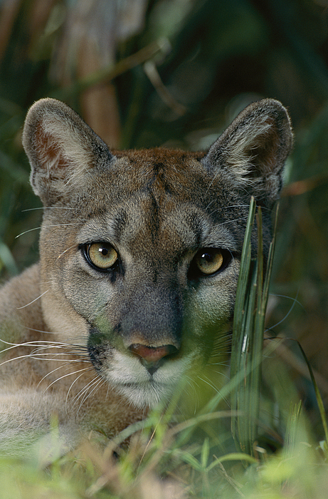 florida Panthers Photograph - An Alleged Florida Panther. Owner Frank by Michael Nichols