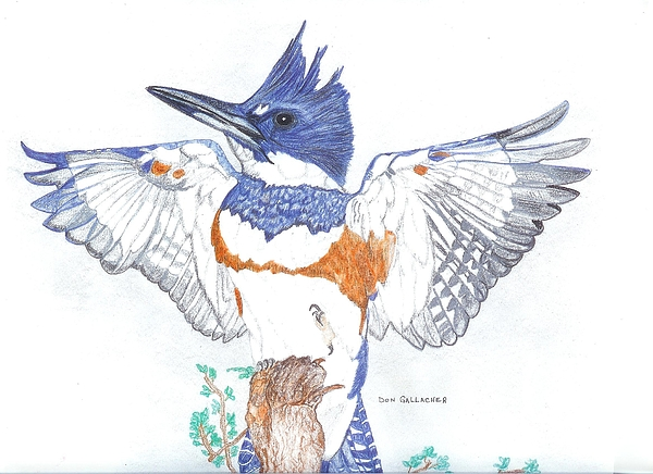 Belted Kingfisher Drawing - Belted Kingfisher by Don  Gallacher