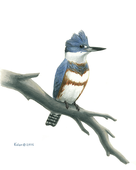 Line Drawing Kingfisher : Belted kingfisher perched drawing by kalen malueg