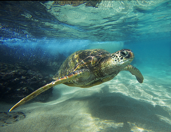 Black Rock Turtle Photograph by James Roemmling