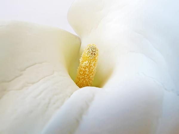 Flower Photograph - Calla by Daniel Csoka
