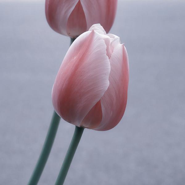 Tulips Photograph - 1 Can Haz 2 Lipz by Marcus Hammerschmitt