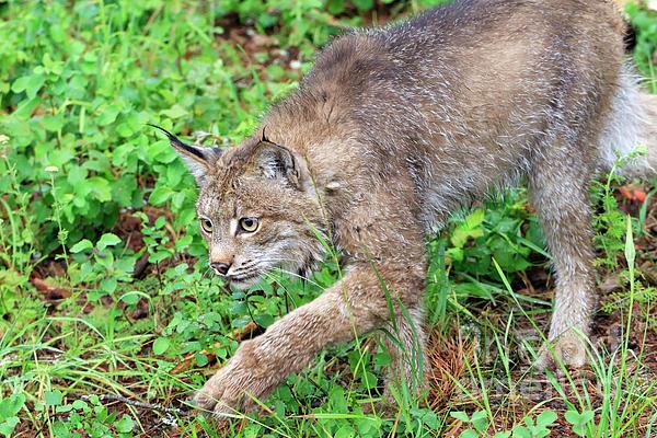 Canada Lynx Photograph - Canada Lynx Lynx Canadensis by Louise Heusinkveld