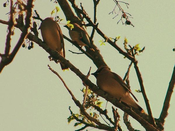 Cedar Waxing Photograph by Nereida Slesarchik Cedeno Wilcoxon