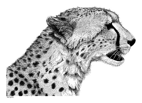 Cheetah Drawing - Cheetah by Scott Woyak