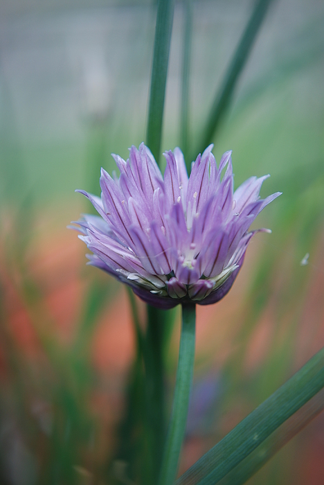 Flowers Photograph - Chive Flower  by Lisa Gabrius