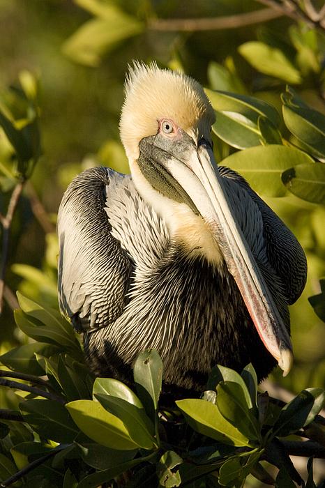Wild Animals Photograph - Closeup Portrait Of A Brown Pelican by Tim Laman