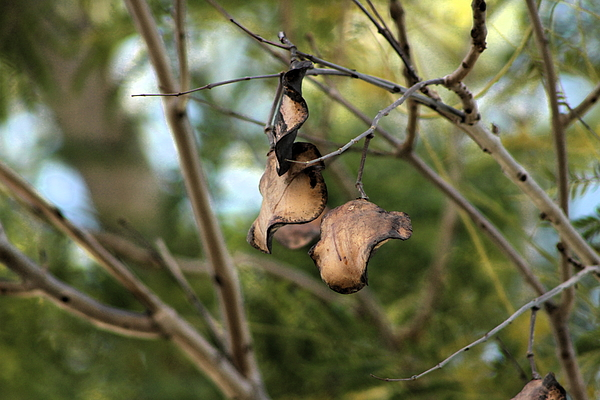 Tree Photograph - Coffee Brown Pods by Colleen Cornelius