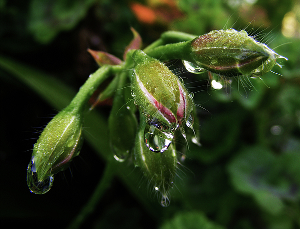 Raindrops Photograph - Droplets by Wilma Stout