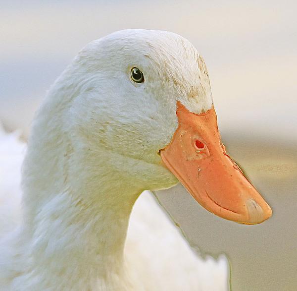 Waterbird Photograph - Duck by Glenn Vidal