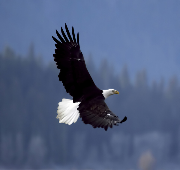 E Photograph - Eagle In Flight by Clarence Alford