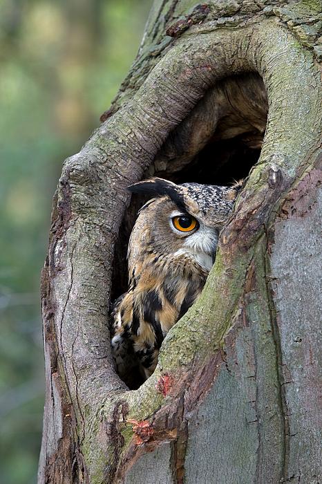Fn Photograph - Eurasian Eagle-owl Bubo Bubo Looking by Rob Reijnen