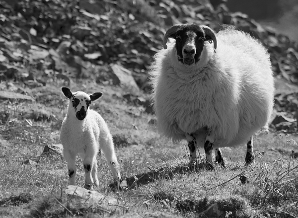 Ewe Photograph - Ewe And Lamb No2 by John Cox