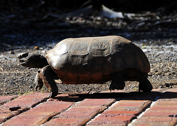 Gopher Tortoise Photograph - Florida Gopher Tortoise by David Lee Thompson
