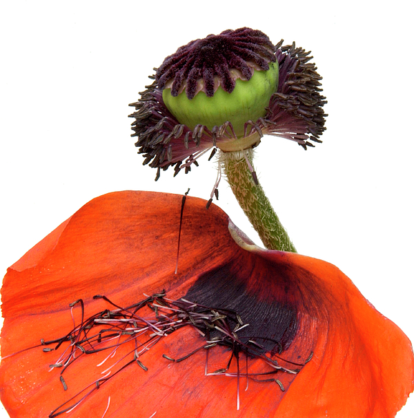 Indoors Photograph - Flower Poppy In Studio by Bernard Jaubert