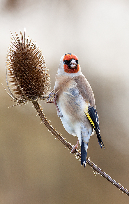 Goldfinch Photograph - Goldfinch On Teasle by Bob Kemp