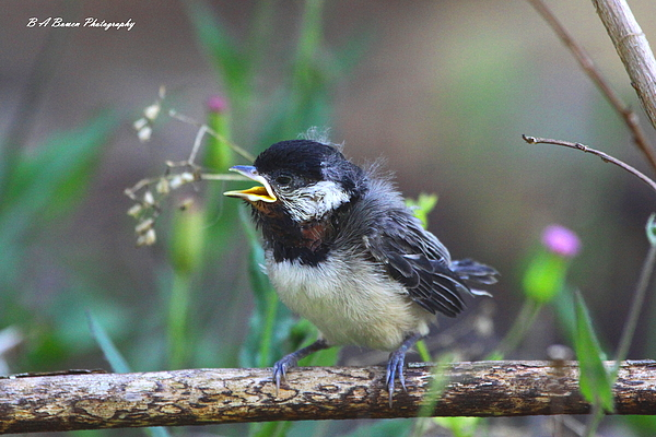 Carolina Chickadee Photograph - Hello World by Barbara Bowen