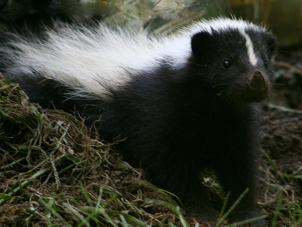 Skunk Photograph - Here Kitty Kitty by Barbara S Nickerson
