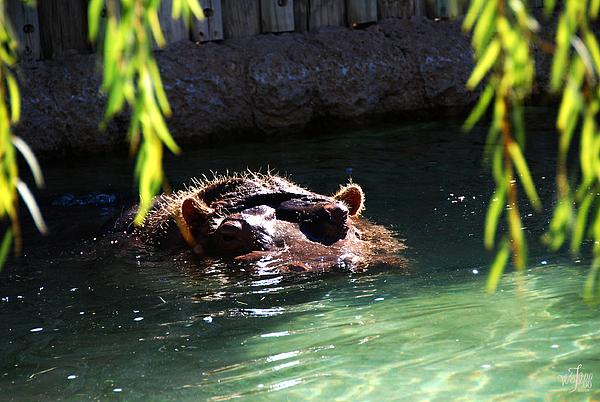 Hippopotamus Photograph - Hippo by Thea Wolff
