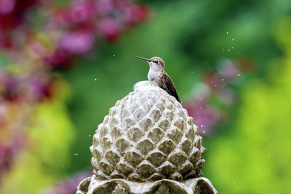 Trochilidae Photograph - Hummingbird On Garden Water Fountain by David Gn