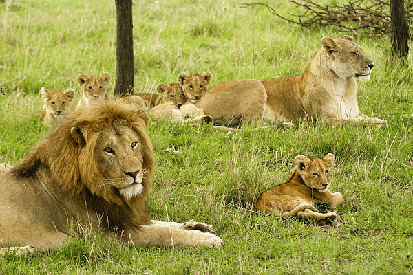 Lion Photograph - Its All About Family by Michele Burgess