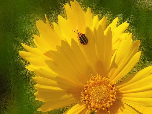 Floral Photograph - Lady Bug Lookout by Paul Anderson