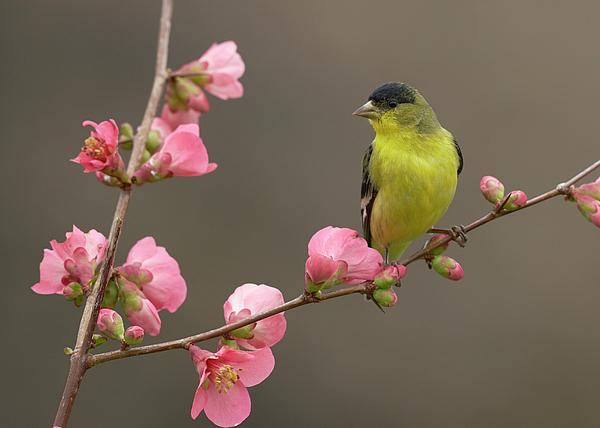 Birds Photograph - Lesser Goldfinch by Doug Herr