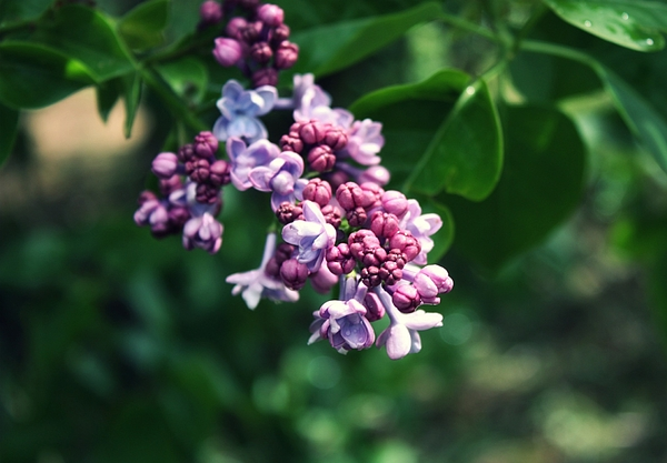 Lilacs Photograph - Lilac by Cathie Tyler