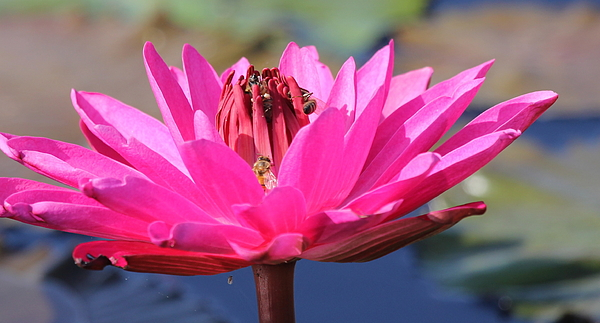 Flower Photograph - Pink Water Lilly by Sean Allen