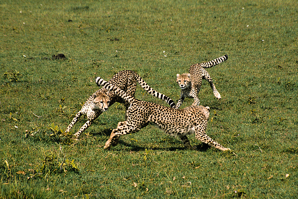 Africa Photograph - Ring Around The Cheetahs by Michele Burgess