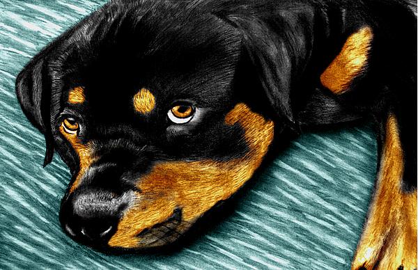Dog Sketch Drawing - Rotty by Peter Piatt