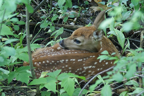 Fawn Photograph - Spring Fawn by Geralyn Palmer